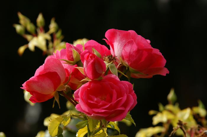 Diese Rosen sind f�r Sie