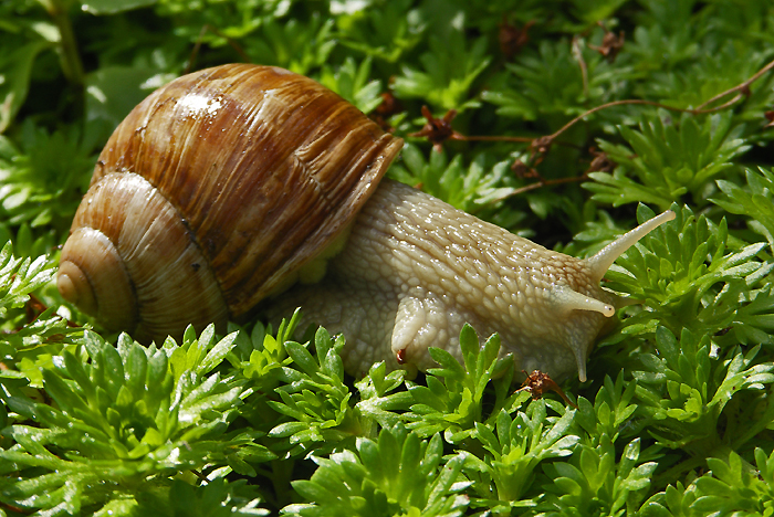 Edible snail / Photo: Heinz Rieder