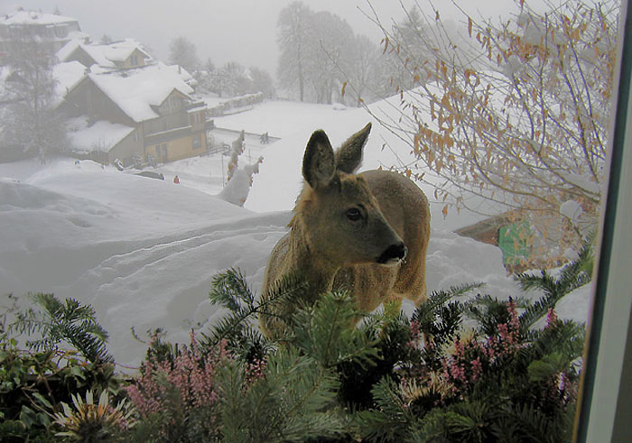 Roe deer / Photo: Esther Rieder 21.02.2005 / 10.30 Uhr