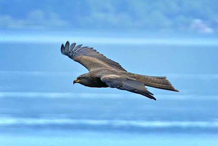 Black kite (milvus migrans) / Photo: Fritz Bieri