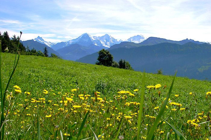 Luscious meadows / Jungfrau massif in the background /  Photo: Heinz Rieder