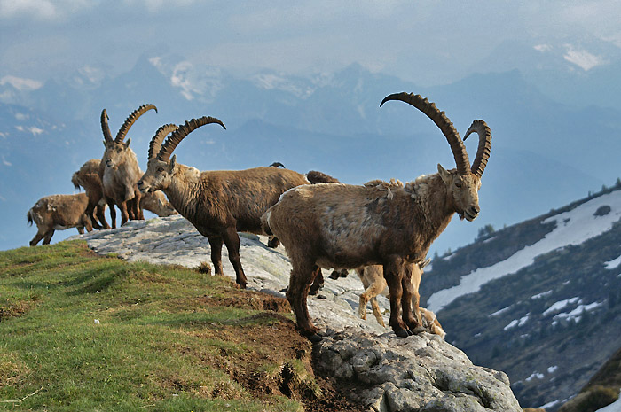 Ibexes / Photo: Fritz Bieri